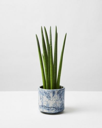 Snake Plant Cylindrical In Blue Fractured Plant Pot
