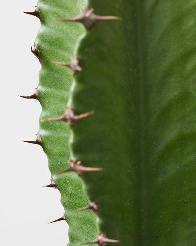 Euphorbia Acruensis 0430