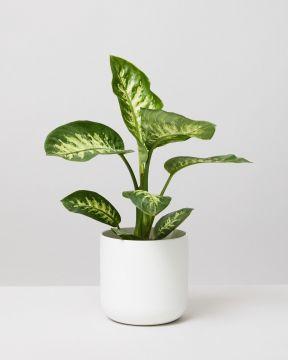 Leopard Lily In Elho Plant Pot