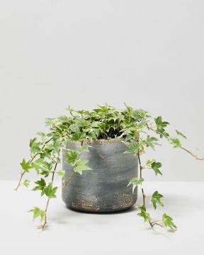 English Ivy Variegated In Tivoli Earth Plant Pot