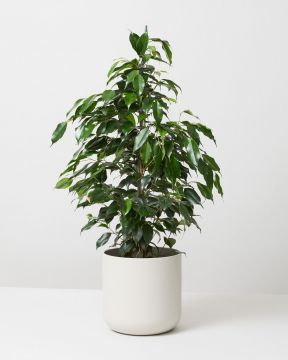 Weeping Fig In White Elho Plant Pot