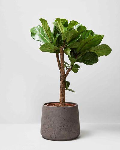 Fiddle Leaf Tree 0188 V2