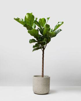 Hydroponic Fiddle Leaf Tree 0196 V2