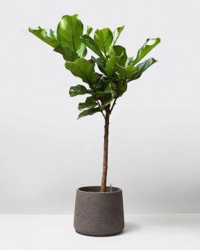 Hydroponic Fiddle Leaf Tree