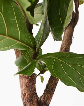 Fiddle Leaf Fig Tree 0459