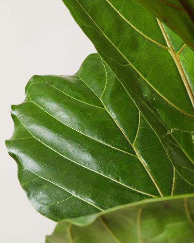 Fiddle Leaf Fig 4023