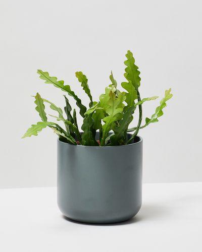 Fishbone Cactus 0048 V1