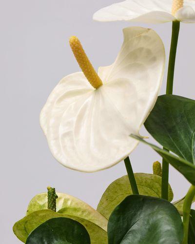 White Flamingo Flower 0611