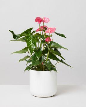 Pink Flamingo Flower In Lisbon Plant Pot
