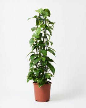 Golden Pothos On Pole In Nursery Plant Pot