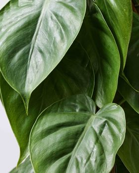 Philodendron on Cane 0467