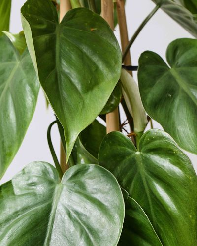 Philodendron on Cane 0474