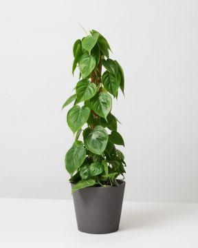 Heartleaf Philodendron Moss Pole In Curved Fiberclay Plant Pot