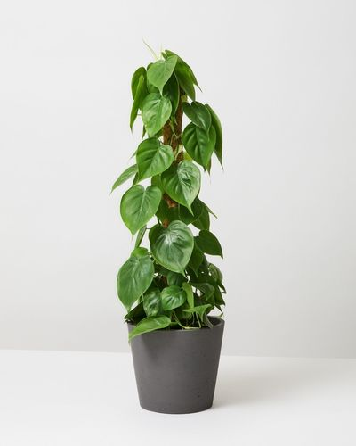 Heat Leaf Philodendron