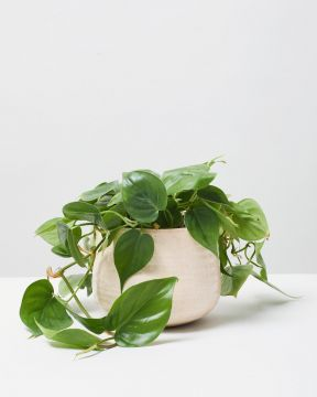 Heart Leaf Philodendron hanging 4