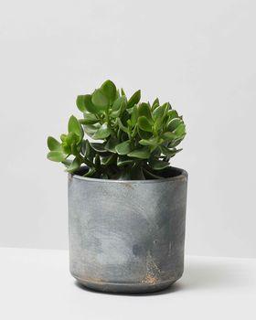 Jade Plant 0085 V2