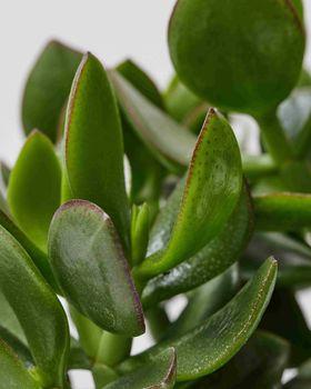 Jade Plant 0595