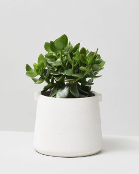 Jade Plant In White Handle Plant Pot