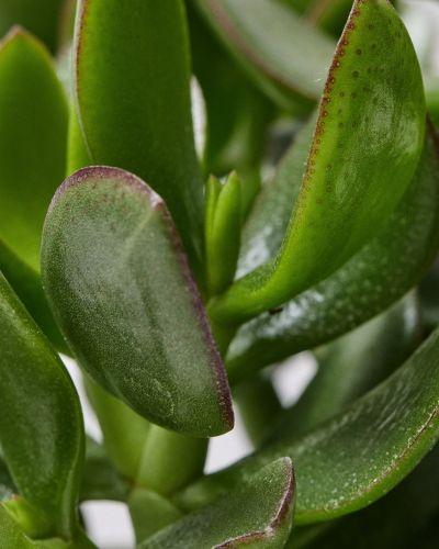 Jade Plant Close Up