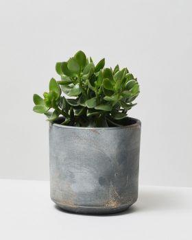 Jade Plant In Tivoli Plant Pot