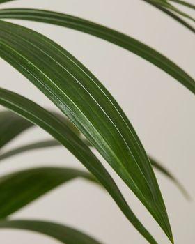 Kentia Palm 3989