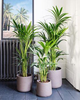 Kentia Palm Lifestyle