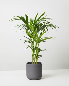 Kentia Plant In Curved Fiberclay Plant Pot