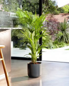 Kentia Palm In Kitchen