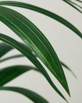 Kentia Palm Leaves Close Up