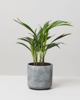 Kentia Palm In Tivoli Earth Plant Pot
