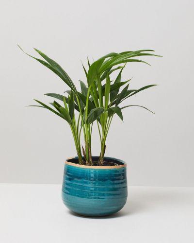 Kentia Palm In Como Plant Pot