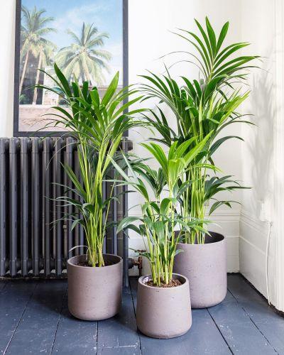 Kentia Palm In Hallway