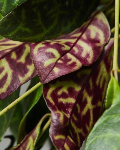 Lipstick plant 2