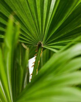 Windmill Palm 2