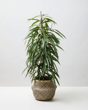 Benjamin Tree 1