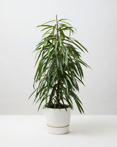 Benjamin Tree 4
