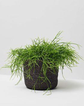 Mistletoe Cactus 0094 V1