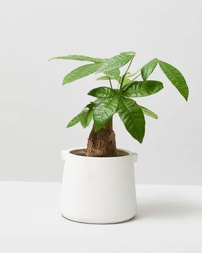 Bonsai money tree