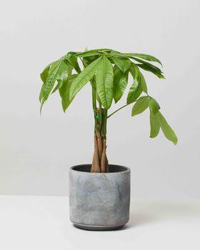 Money Tree 0076 V2