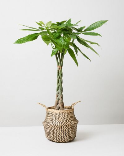Money Tree In Seagrass Tribal Plant Pot