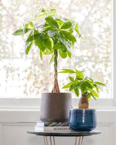 Money Tree In Bedroom