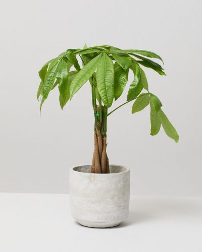 Money Tree In Curved Fiberclay Plant Pot