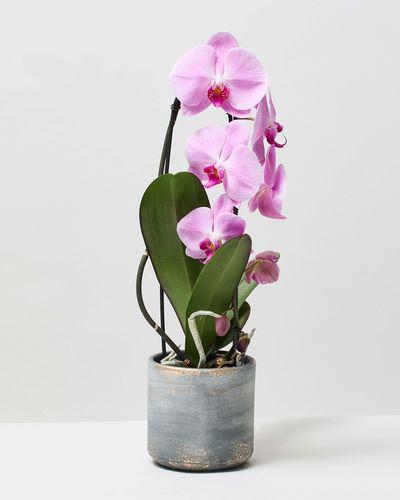 Pink Orchid 0155 V1