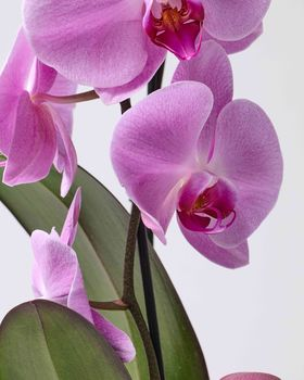 Pink Orchid 0717