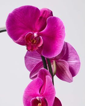 Purple Orchid 0719