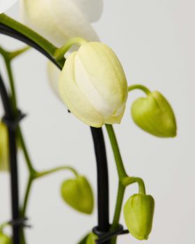 Orchid 0456