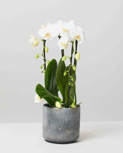 Orchid 0084 V1