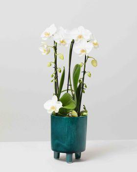 Orchid 0088 V2