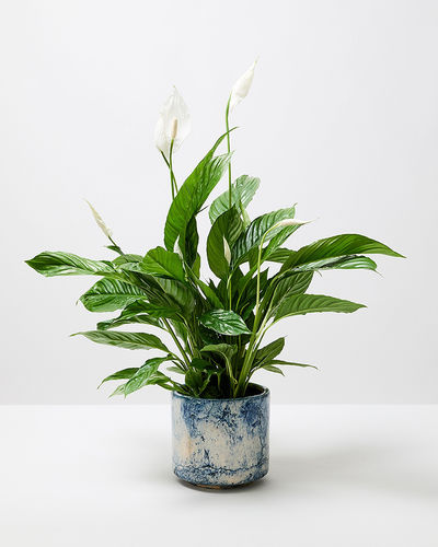 Peace lily 1