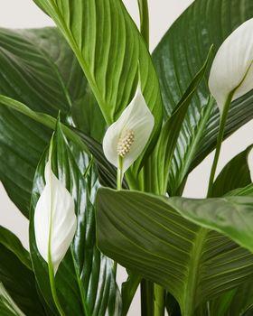 Peace Lily closeup 2